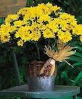 Harvest Yellow Daisy Plant