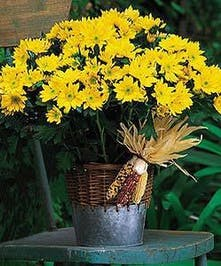 Yellow Daisy Mum Plant