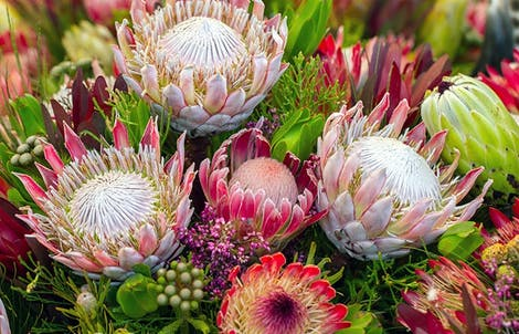 Photograph of king proteas