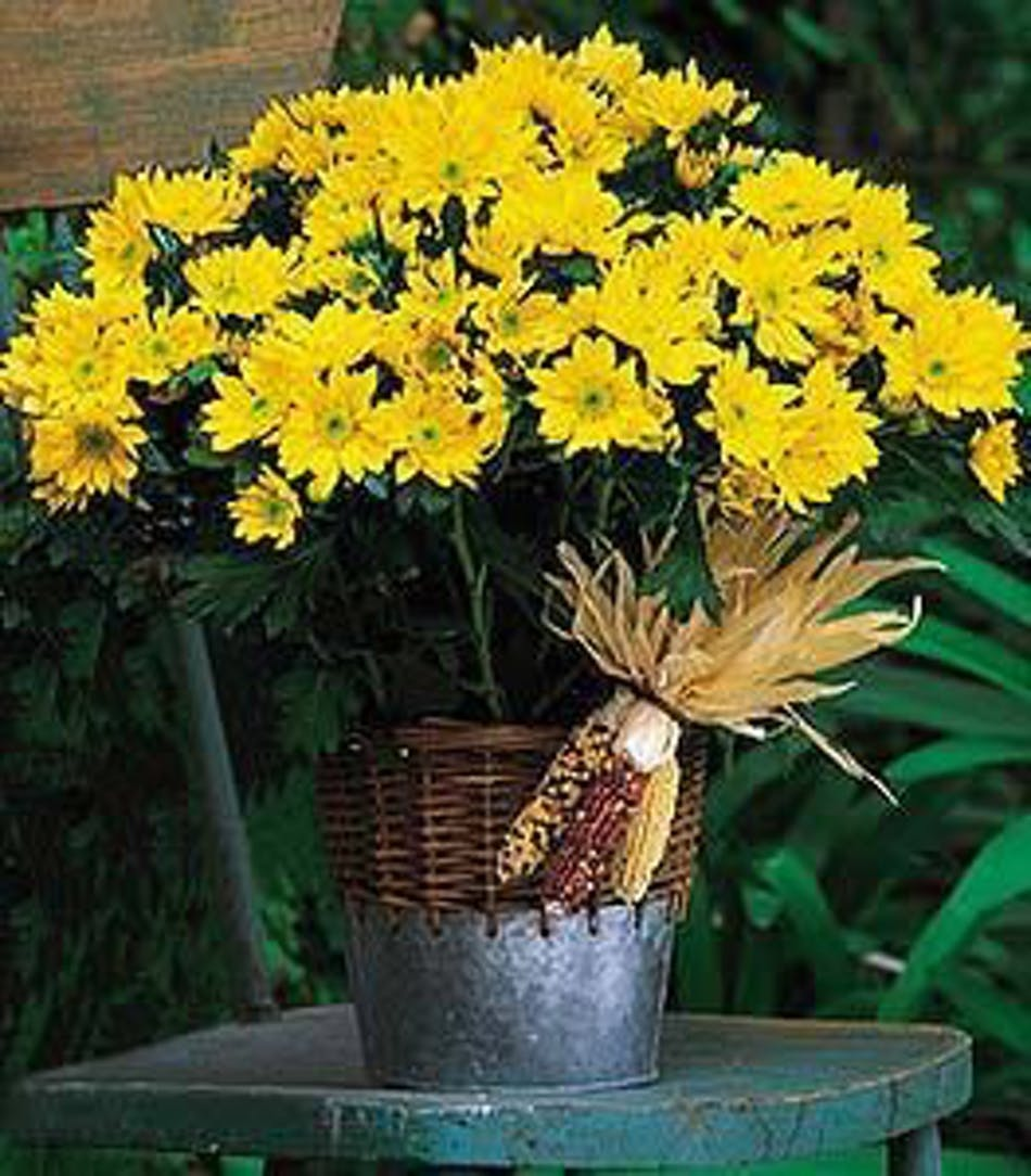Harvest Yellow Daisy Plant Yellow Daisy Mum Plant About Flower