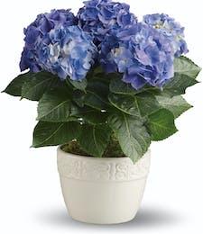 Happy Hydrangea Blue